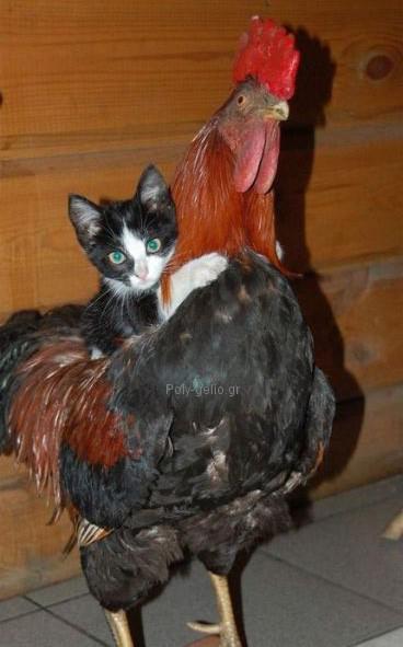 γατα επανω σε κοκορα