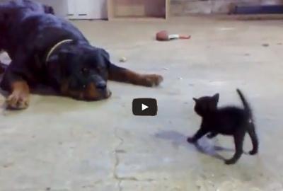 Αστείο βίντεο: Γατάκι vs Rottweiler