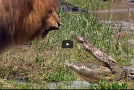 Βίντεο: Λιοντάρι vs Κροκόδειλο