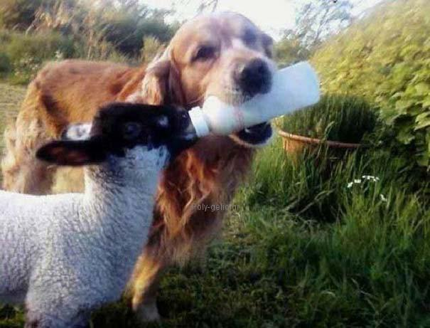 σκυλος ταιζει προβατο