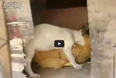 Αστείο βίντεο: Σκύλος ερωτοτροπεί με Κότα