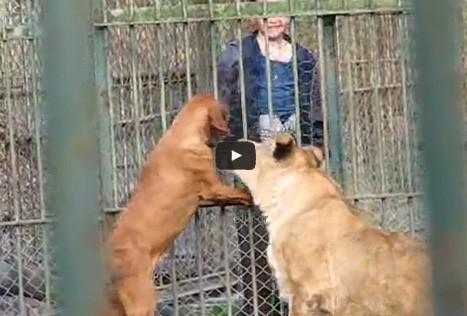 Λιοντάρια παίζουν με Σκύλο αναγνωρίζοντάς τον ως μητέρα τους