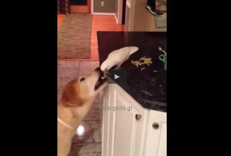 Αστείο βίντεο: Παπαγάλος ταΐζει τον σκύλο στο στόμα!