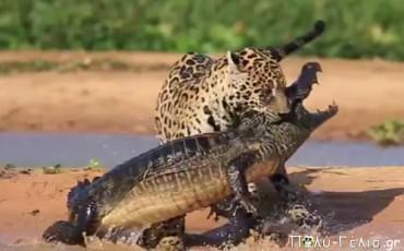 Σπάνιο βίντεο: Τζάγκουαρ σβερκώνει Κροκόδειλο !!!